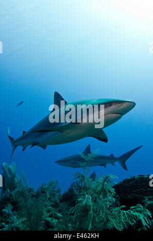 Caribbean reef shark (Carcharhinus perezi) Jardines de la Reina National Park, Cuba - Stock Photo