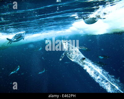 Emperor penguins (Aptenodytes forsteri) males dive through openings in the sea ice to take their first swim in over - Stock Photo