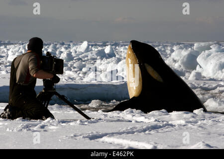 Filming on the Antarctic sea-ice at the edge of a small hole. A cameraman gets a shock when a Killer whale (Orcinus - Stock Photo