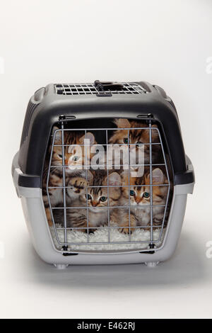 British Longhair Cats / Highlander, Lowlander, Britanica, four kittens in travel cage, 10 weeks - Stock Photo