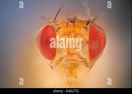Wild Common fruit fly (Drosophila melanogaster) Vienna Drosophila RNAi Center, Institute for Molecular Pathology, - Stock Photo