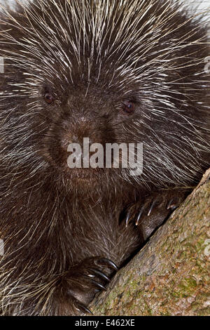 North American Porcupine (Erethizon dorsatum). Captive. Endemic to North America. Captive. UK, May. - Stock Photo
