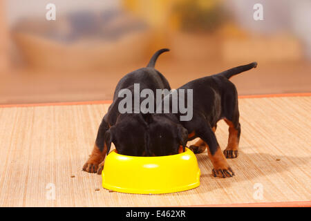 Dobermann Pinscher puppies, 5 weeks, feeding from bowl. - Stock Photo