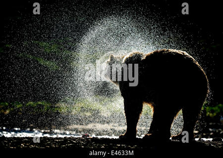 Grizzly bear (Ursus arctos horribilis) shaking dry after fishing for salmon, Katmai NP, Alaska, USA, August - Stock Photo