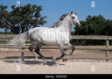 A purebred Lusitano stallion galloping in the arena at the Companhia das Lezírias Stud Farm, Samora Correia, Santarém, - Stock Photo