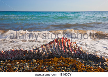 Carcass of a recently-killed Pacific Walrus (Odobenus rosmarus divergens) on beach. Chukotka, Russia, August. - Stock Photo