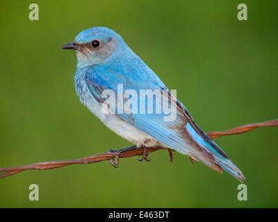 A brilliant, azure blue male Mountain Bluebird (Sialia currucoides), perched on barbed wire. Beaverhill Lake, Alberta, - Stock Photo