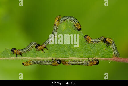 Birch Sawfly (Cimbex femoratus) feeding on a leaf. August, UK. - Stock Photo