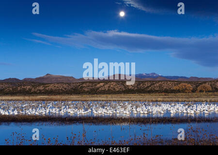 Mixed flock of Snow geese (Anser caerulescens atlanticus / Chen caerulescens) and Sandhill cranes (Grus canadensis) - Stock Photo