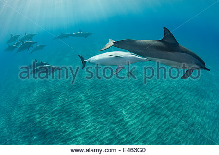 Hawaiian / Gray's / Long-Snouted Spinner Dolphins (Stenella longirostris longirostris) with mother and young calf. - Stock Photo