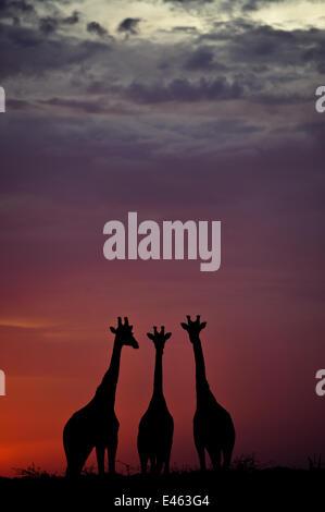 Giraffe (Giraffa camelopardalis) three standing together, silhouetted at dusk, Okavango Delta, Botswana - Stock Photo