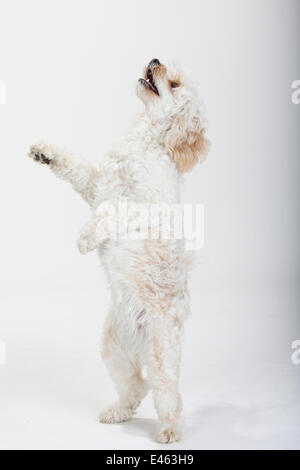 Mixed breed, white, long haired Cockerpoo /  Cockapoo dog, standing on back legs, looking up. Poodle Cocker spaniel - Stock Photo