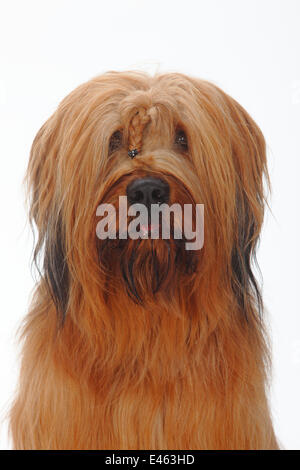 Briard / Berger de Brie, head portrait with plaited hair between eyes. - Stock Photo
