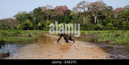 Western lowland gorilla (Gorilla gorilla gorilla) sub-adult female 'Mosoko' aged 8 years crossing a river, Bai Hokou, - Stock Photo