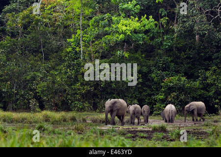 Forest elephant herd (Loxodonta cyclotis) drinking and wallowing in a river, Bai Hokou, Dzanga Sangha Special Dense - Stock Photo