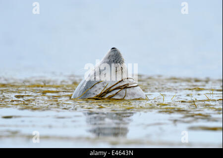 Common / Harbour Seal (Phoca vitulina) bottling / sleeping upright in water and moored in bed of sea thong weed, - Stock Photo