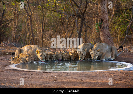 Asiatic lionesses and cubs (Panther leo persica) drinking from pool, Gir Forest NP, Gujarat, India. Water is scarce - Stock Photo