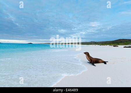 Galapagos sea lion (Zalophus wollebaeki) looking out to sea on sandy beach. Endangered. Espanola Island, Galapagos, - Stock Photo