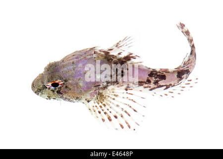 Sea Scorpion / Bullfish (Taurulus bubalis) against white background. From the Isle of Skye, Inner Hebrides, Scotland, - Stock Photo