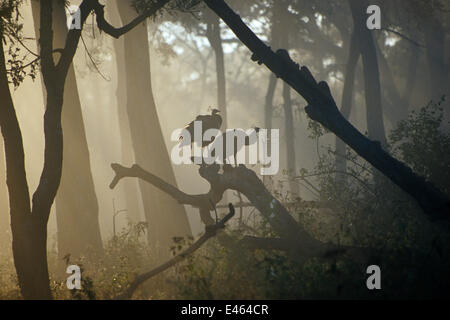 Common peafowl (Pavo cristatus) perched on trees at dawn, Western Ghats, Southern India - Stock Photo
