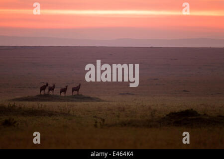 Topi (Damaliscus lunatus jimela) small herd standing on grass mound at sunrise, Masai Mara National Reserve, Kenya, - Stock Photo