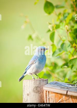 A beautiful male Mountain Bluebird (Sialia currucoides) guards a nestbox at Francis Viewpoint, Beaverhill Lake, - Stock Photo
