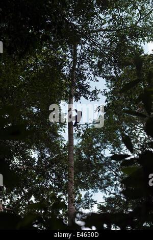 Western lowland gorilla (Gorilla gorilla gorilla) juvenile climbing up tall tree, Bai Hokou, Dzanga Sangha Special - Stock Photo