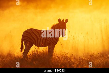 Common zebra (Equus quagga) foal in dusty sunset,  Etosha National Park, Namibia Photo by Sharon Heald - Stock Photo