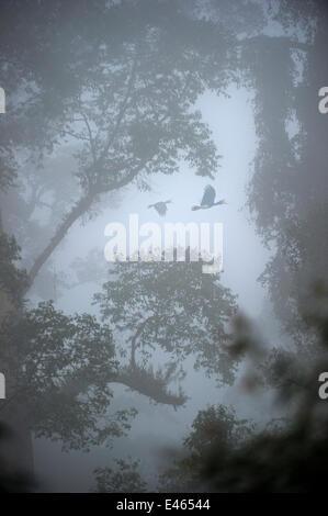 Rhinoceros hornbills (Buceros rhinoceros) pair flying over the canopy with mist hanging over lowland Dipterocarp - Stock Photo