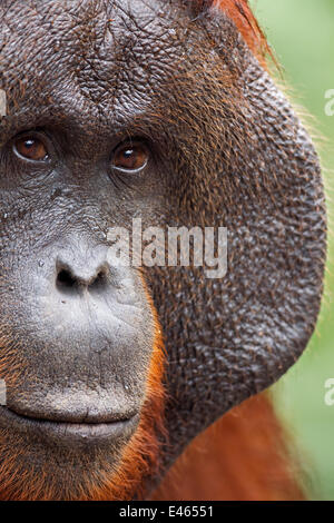Bornean Orangutan (Pongo pygmaeus wurmbii) mature male 'Doyok' portrait. Pondok Tanggui, Tanjung Puting National - Stock Photo