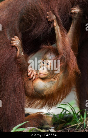 Bornean Orangutan (Pongo pygmaeus wurmbii) male baby 'Thor' aged 8-9 months hanging from his mother. Camp Leakey, - Stock Photo