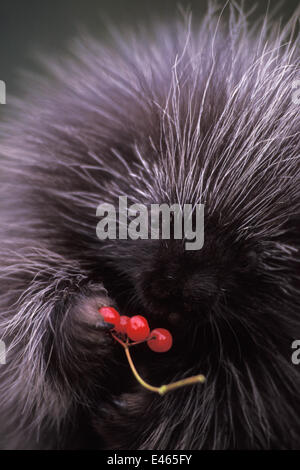 North American porcupine (Erethizon dorsatum) pup feeds on Alaskan high brush cranberries in the foothills of the - Stock Photo