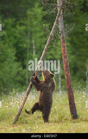Brown Bear (Ursus arctos), cub climbing a tree, Finland, July. - Stock Photo