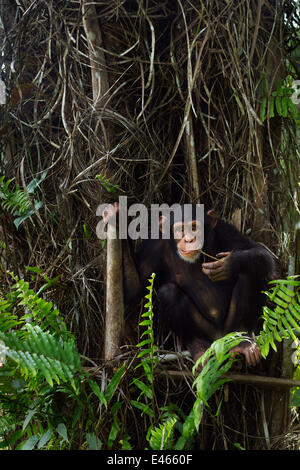 Western chimpanzee (Pan troglodytes verus)   juvenile female 'Joya' aged 6 years feeding on fern leaves, Bossou - Stock Photo