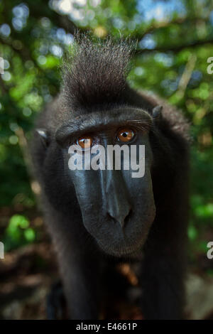 Celebes / Black crested macaque (Macaca nigra)  sub-adult male head and shoulders portrait, Tangkoko National Park, - Stock Photo