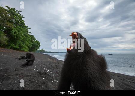 Celebes / Black crested macaque (Macaca nigra)  sub-adult male yawning, Tangkoko National Park, Sulawesi, Indonesia. - Stock Photo