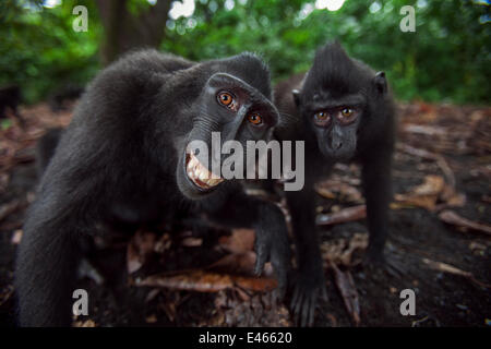 Celebes / Black crested macaque (Macaca nigra) two juveniles approaching with curiosity, one grimacing Tangkoko - Stock Photo