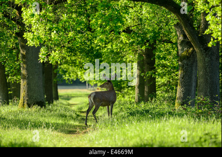 Red deer stag crossing a forest path with oak trees in warm evening light - Stock Photo