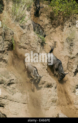 Wildebeest (Connochaetes taurinus) running for down steep bank of the Mara river during migration, Masai-Mara game - Stock Photo