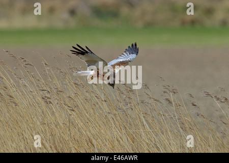 Western marsh harrier / Eurasian marsh harrier (Circus aeruginosus), male in flight over reedbed in marshland - Stock Photo