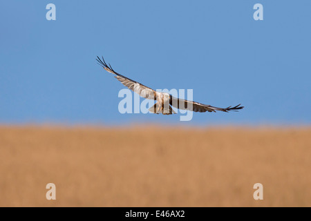 Western marsh harrier / Eurasian marsh harrier (Circus aeruginosus), male in flight over reedbed in marshland - Stock Photo