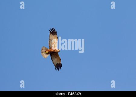 Western marsh harrier / Eurasian marsh harrier (Circus aeruginosus), male in flight against blue sky - Stock Photo