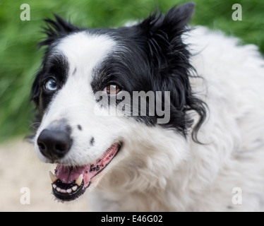 Happy looking Border Collie dog - Stock Photo