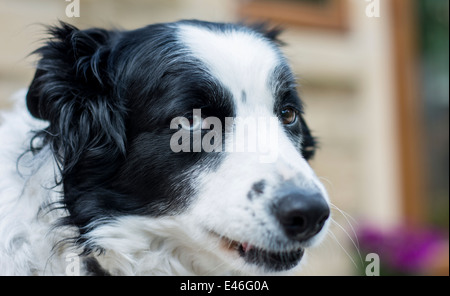 Snout view of a border collie dog - Stock Photo