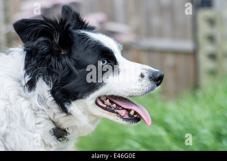 Side view of an old Border Collie dog - Stock Photo