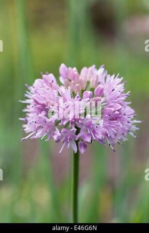 Allium nutans flower. - Stock Photo