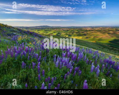 The Palouse, Whitman County, WA: Lupine blooming on Steptoe Butte with the green hills of the Palouse Country - Stock Photo