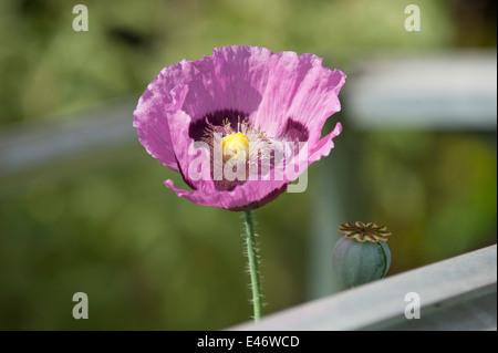 Papaver somniferum, Opium poppy, flower - Stock Photo