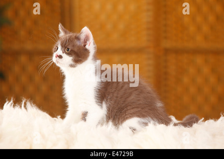 British Shorthair Cat, kitten, 12 weeks, chocolate-white |Britische Kurzhaarkatze, Kaetzchen, 12 Wochen, chocolate - Stock Photo