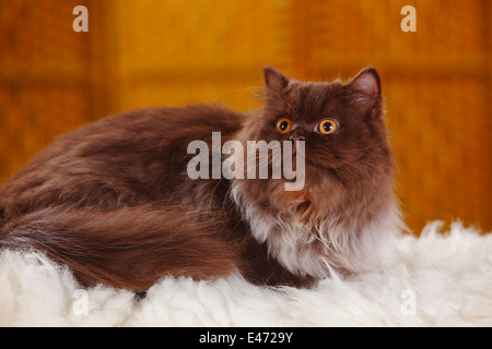 British Longhair Cat, tomcat, chocolate |Britische Langhaarkatze, Kater, chocolate - Stock Photo